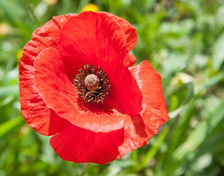 papaver rhoeas: Beautiful Single Red Poppy Papaver rhoeas Flower Head in a Green Field in Cyprus