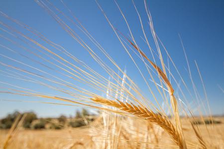 cultivo de trigo: Oreja Cebada de oro en un campo en el pueblo abandonado de Ayios Sozomenos