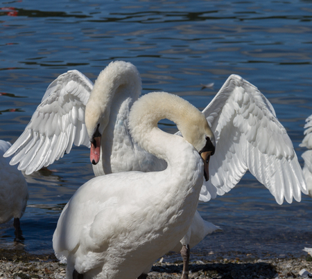 cumbria: Courting Mute Swans photographed n Bowness-on-Windermere, Lake District, Cumbria
