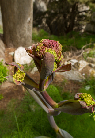 st hilarion: Wild flower of Cyprus in St Hilarion Castle area on Pendadaktylos mountains