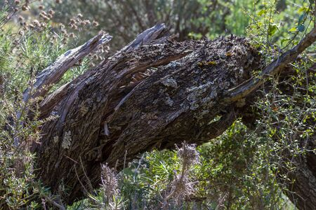 cyprus tree: Tree bark with beautiful texture in Troodos Mountains, Cyprus