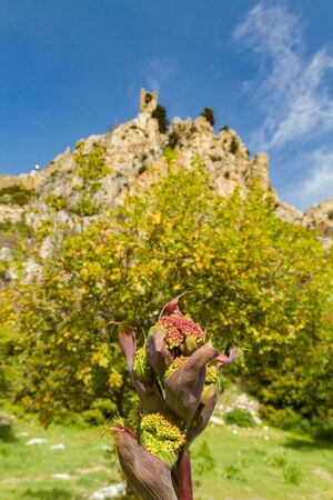 st hilarion: Wild flower and Saint Hilarion Castle in the background,
