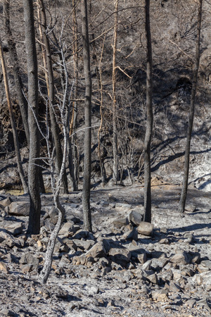 ecological disaster: Burned trees following a forest fire in Solea area in Troodos mountains in Cyprus.The June 2016 fire has been an ecological disaster. Stock Photo