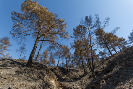 ecological disaster: Burned pine trees following a forest fire at Solea area in Troodos mountains, Cyprus. The June 2016 fire has been an ecological disaster.