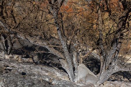 ecological disaster: Burned tree-branches following a forest fire in Solea area in Troodos mountains in Cyprus.The June 2016 fire has been an ecological disaster.
