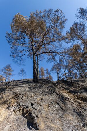 ecological disaster: Burned pine trees on cliff after a forest fire at Solea area in Troodos mountains, Cyprus. The June 2016 fire has been an ecological disaster.