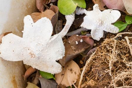 bracket: White bracket fungi in a flower pot