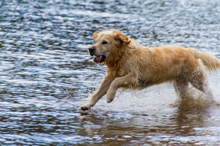 cumbria: Golden retriever dog running on shallow lakeshore in Derwent Water Lake, Keswick, Cumbria, UK Stock Photo
