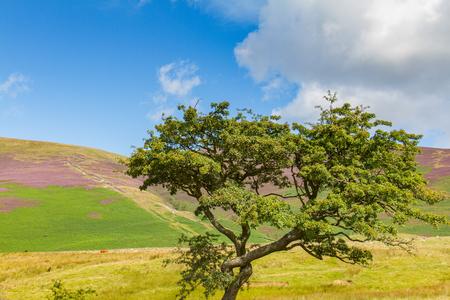 Tree in Latrigg hill across mount Skddaw overlooking Keswick and lake Derwent Water, Cumbria, UK
