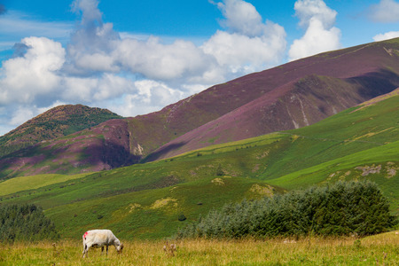 One grazing sheep in Latrigg hill across mount Skddaw overlooking Keswick and lake Derwent Water, Cumbria, UK Stock Photo
