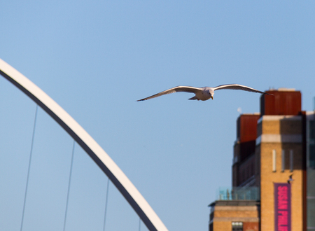 Seagull flying over river Tyne in Newcastle with a section of the Gateshead Millenium Bridge and Baltic Centre for Contemporary Art in the background Editorial