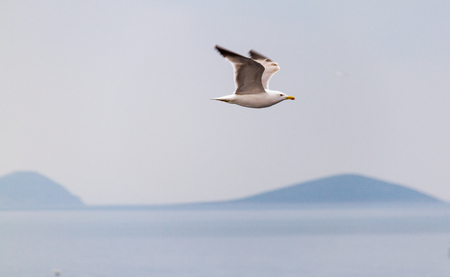 One sea gull flying over the sea between Athens and Aegina on a misty day with hills in the background