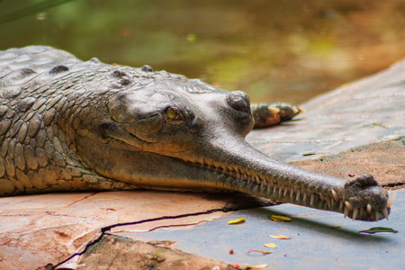 Male Gharial  Crocodile crawling at Arignar Anna Zoological Park in Chennai, India Banco de Imagens