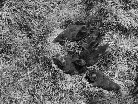 Five cute ducklings on grass in black and white. Backround image concept.