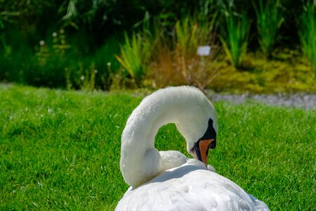 A beautiful Mute Swan (Cygnus olor) relaxes on the meadow of the Heilbronn Flower Exhibition