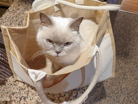 Beautiful white british shorthair cat sitting inside a canvas bag Stok Fotoğraf