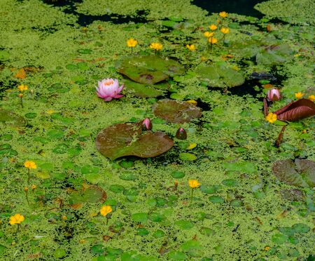 Water lilies and other floating vegetation in a pond in the Royal Botanic Gardens in Edinburgh, Scotland, UK