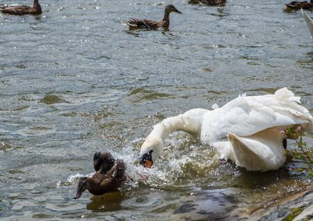 A swan chases off a duckling in a pond at Leases Park in Newcastle