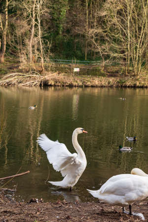 Two cygnus orol swans and swimming ducks in River Wear in Durham, north east UK Stock Photo
