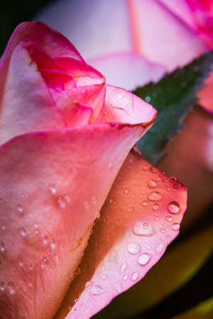 One colorful rose with water droplets close-up capture in portrait format