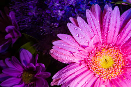 Pink Gerbera Daisy close-up with water droplets viewed from above suitable as Background, Backdrop, or Wallpaper. Stok Fotoğraf