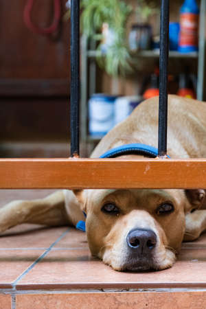 A lazy looking sleepy dog is lying on the floor of the veranda of a house in old Kakopetria mountain village in Cyprus
