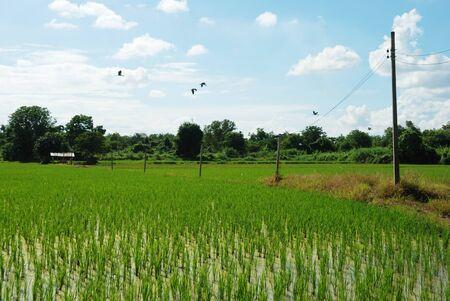 flew: Birds flew over paddy field in Thailand