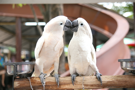 the two parrots: Two parrots kiss Stock Photo