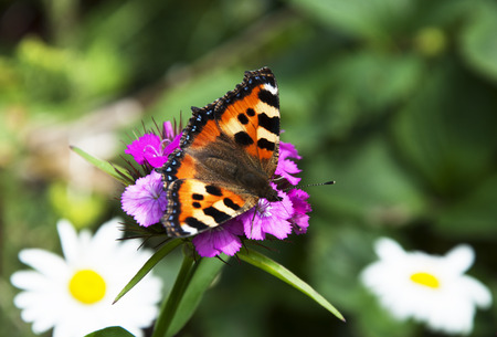 spread wings: Butterfly urticaria with spread wings on a flower Stock Photo