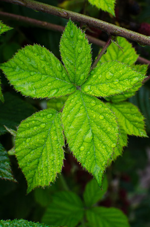 dewy: Dewy leaf blackberry Stock Photo