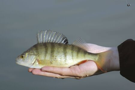 A shiny caught perch in hand photo
