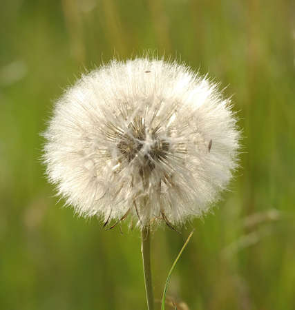 Pretty white ball of dandelion