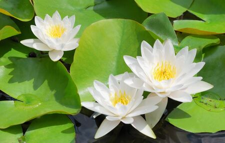 Many beautiful white water lily (lotus) photo