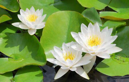 Many beautiful white water lily (lotus) photo