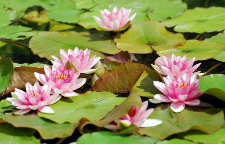 Many beautiful red water lily (lotus)