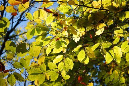 yellowautumn: Autumn fall maple leaves Stock Photo