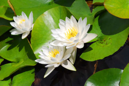 Many beautiful white water lily (lotus) Stock Photo - 2308869