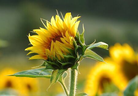Detail of sunflower on the field