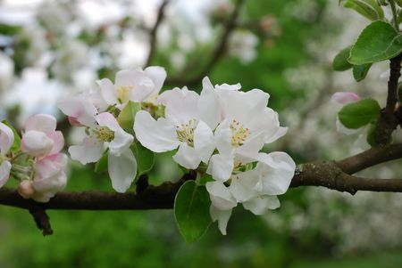 Spring apple tree in blossom photo