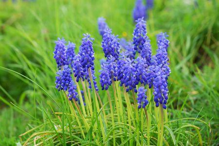 lavendin: Close up of lavender flowers