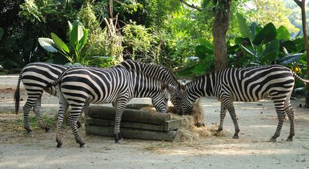 Zebra close up in Singapore zoo Stock Photo - 4254474