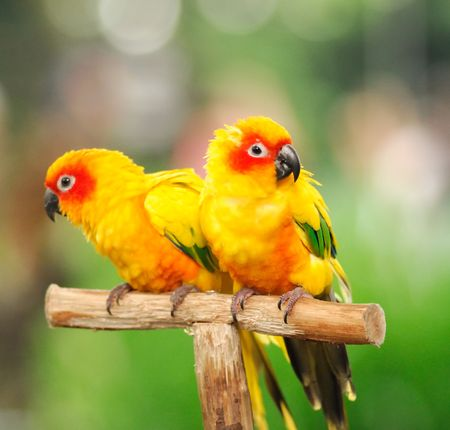Couple of colourful parrots sitting on a rod