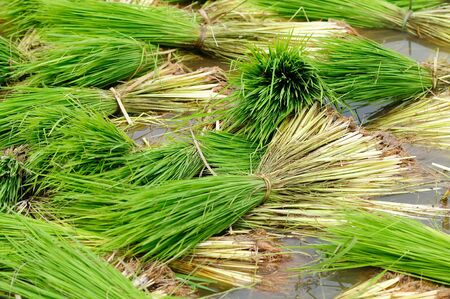 Close up of paddy field