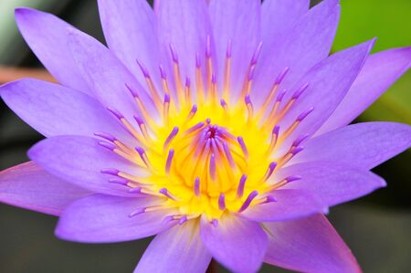 Beautiful blue water lily (lotus) photo
