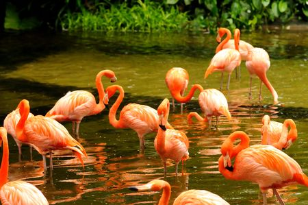 The flock of pink flamingo in the water  Stock Photo