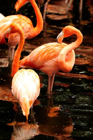The flock of pink flamingo in the water  photo