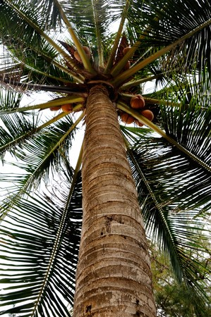 View on palm tree coconuts photo