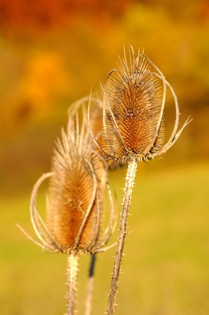 Beautiful thistle oposilte fall colored background photo