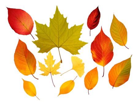 the dry leaves: Un mont�n de hojas de oto�o aislados sobre fondo blanco