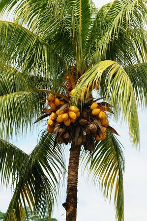 View on palm tree coconuts